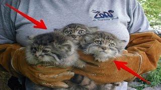 Pria ini Temukan Kucing Liar, Dikira Kucing Biasa.. Namun Ketika Besar Ternyata Kucing ini Makan...