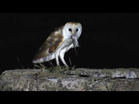 Barn Owl bringing food to the nest - Cyprus - by George Konstantinou  - Video 10/5/2018