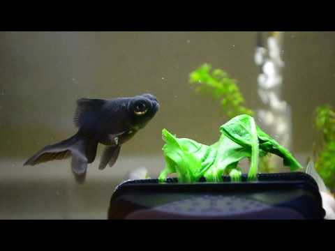 Goldfish Eating Spinach
