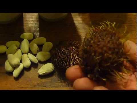 How to grow rambutan tree from seeds