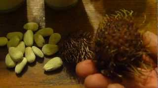 How to grow rambutan tree from seeds