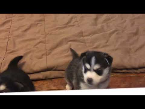 Miniature Siberian Husky Puppies-Jubilee's Litter Fe 2018