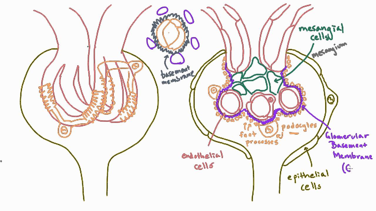 Glomerular Basement Membrane Gbm Anatomy Youtube