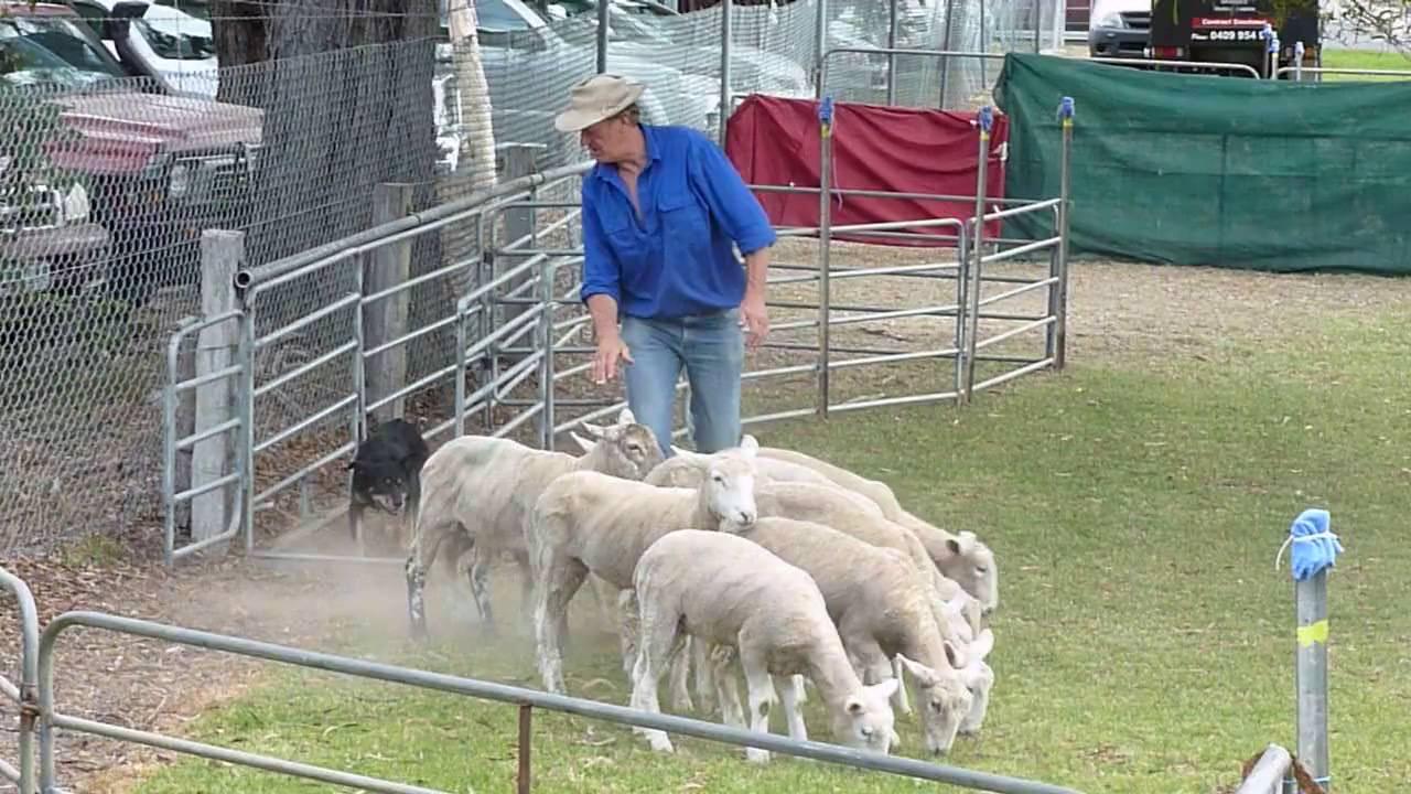 собаки пастухи коров