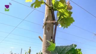 Formación de uva de mesa