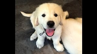 8 Week Old English Golden Retriever Cole- Sold