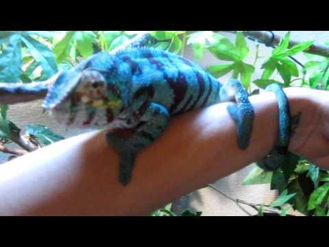 'Ranger' Panther Chameleon