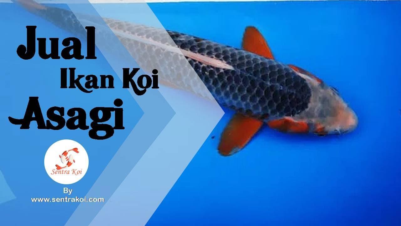 Gambar Ikan Koi Asagi