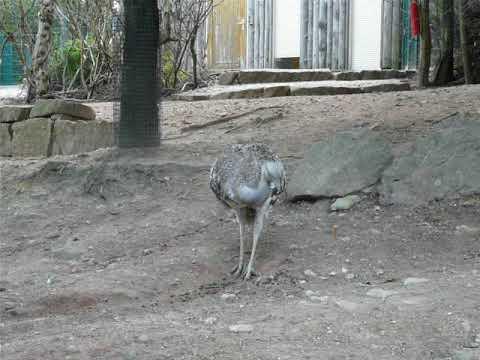 A pair of Darwin's rhea