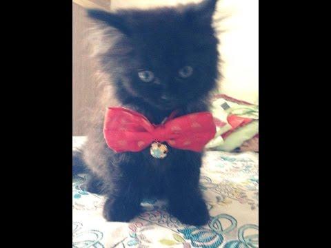 Los gatitos persas negros más lindos del mundo