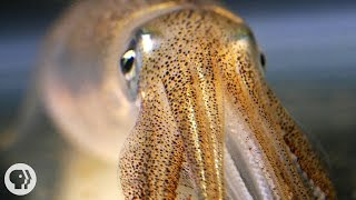 You're Not Hallucinating. That's Just Squid Skin. | Deep Look thumbnail