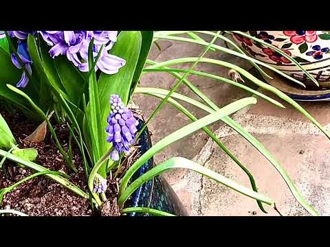 Muscari Armenian Is  Perfect For Small Spaces