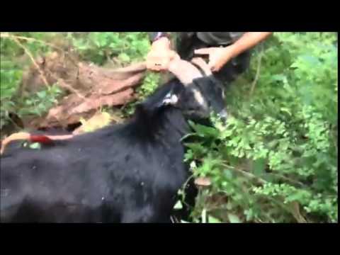 NSW Feral Goat Hunt