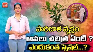 పారిజాత వృక్షం అసలు చరిత్ర ఏంటి? | Mystery Of Parijatha Tree | Parijat Plant Benefits |YOYOTVChannel