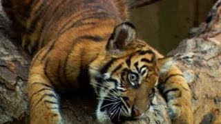 This Is How You Train a Tiger Cub