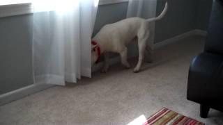 English Bull Terrier Trance thumbnail