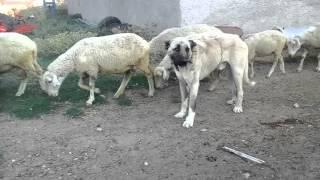 Kangal de Turquie avec la troupe de mouton