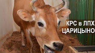 Коровы джерсейской и абердин-ангусской породы. ЛПХ Царицыно