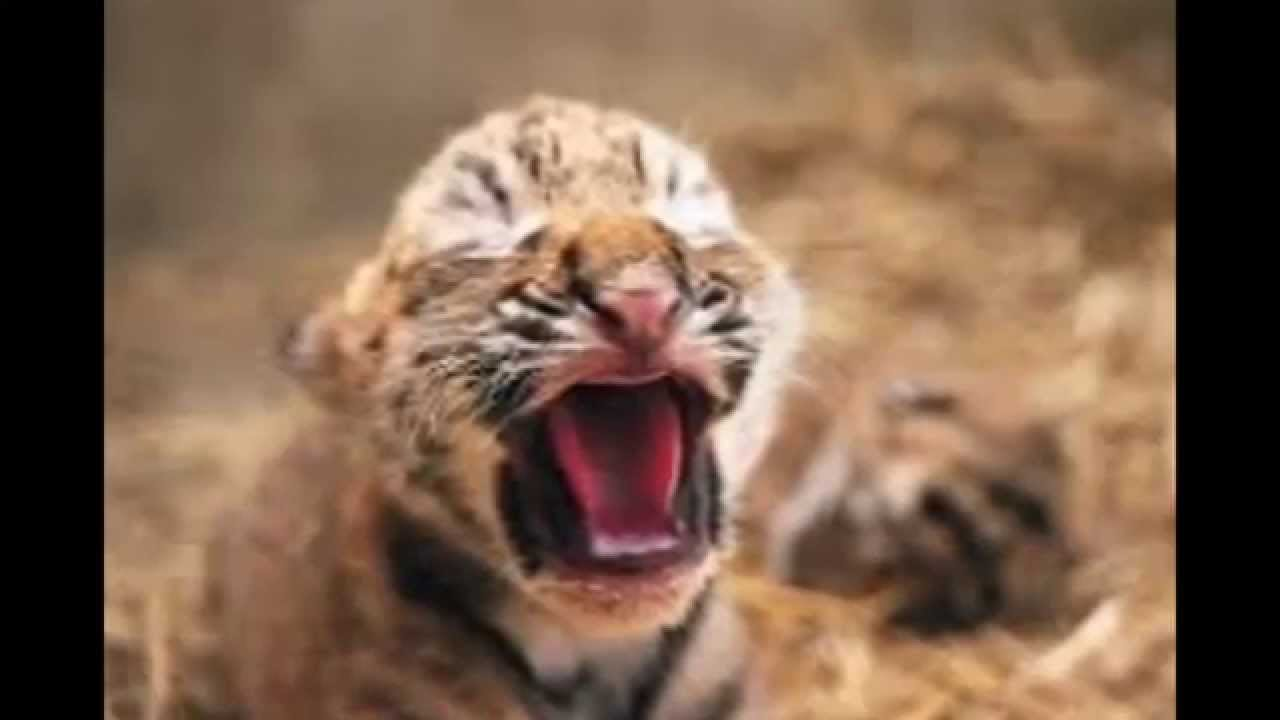Attractive Stages Of The Furious Lion And Ferocious Tiger   YouTube