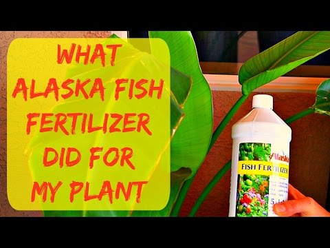Liquid Alaska Organic Fish Fertilizer For Plants - New Leaf Grew 3 Times Bigger - Gardening Tips