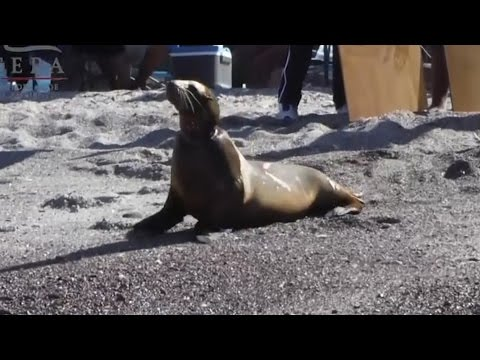 Sea lion saved from being strangled by fishing line