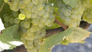 How Chardonnay is Made