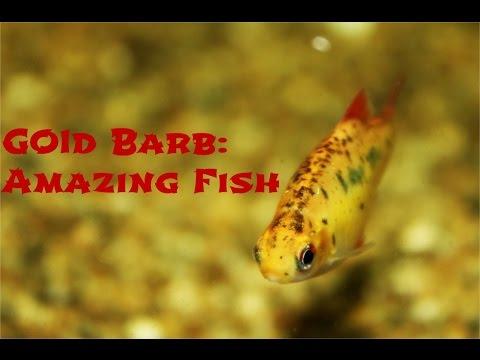 Gold Barb: Amazing Fish