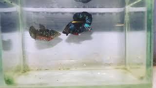 Ikan Cupang Avatar Kalimaya Nan Mewah Youtube