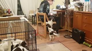 8 Week Old English Springer Spaniel Puppies, Puppy's, Puppy