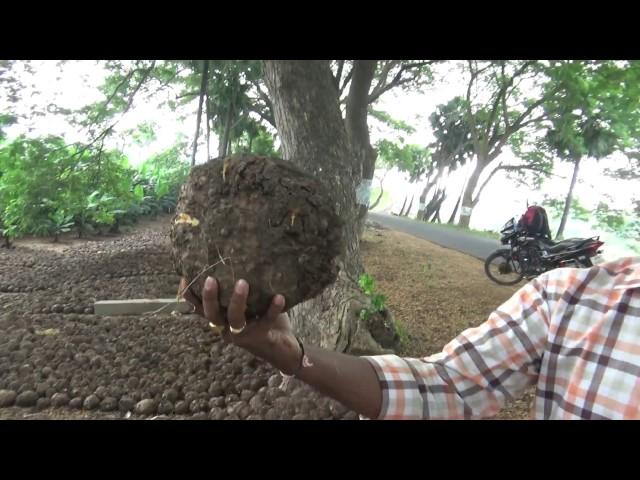 Lawn Fertilizer - Kanda Gadda | Jicama, Mexican Turnip, Yam Bean