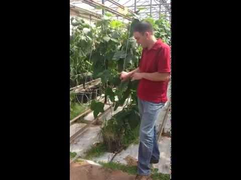 Schurman Family Farms- Beneficials in Organic Greenhouse Farming