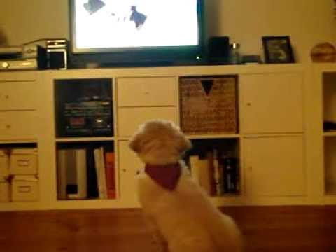 GoldenRetriever Watching evening cartoons (4 years ago)