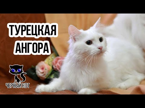 Кошка Турецкая ангора / Интересные факты о кошках