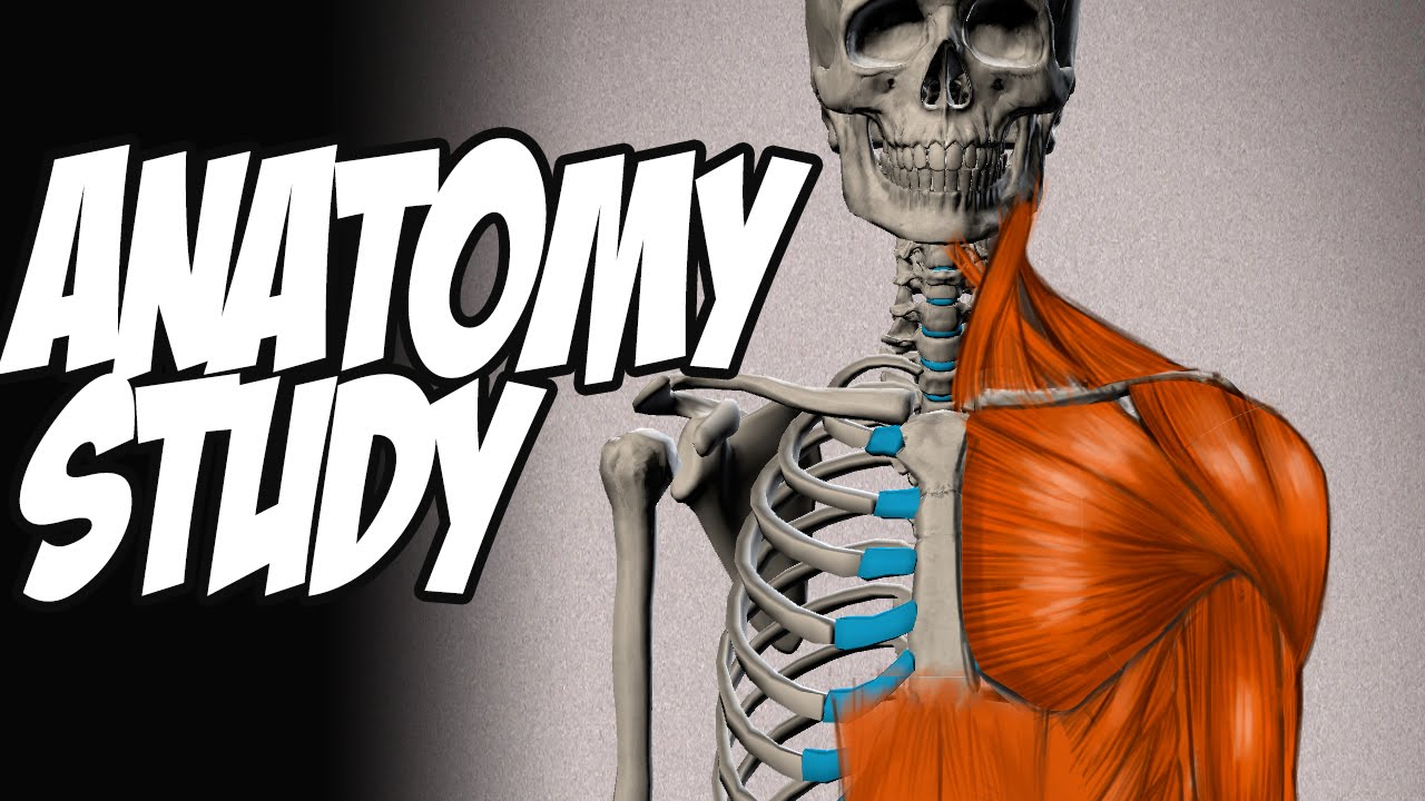 Understanding The Muscles Of The Human Body Anatomy Study 01