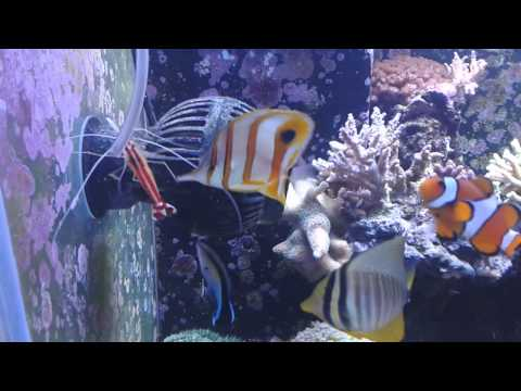 Feeding Copperband Butterfly Fish.mp4