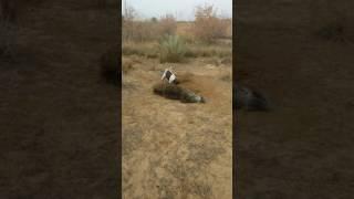 قتل خنزيل بري في قضاء المقدادية  العراق :: Wild boar hunting in Iraq