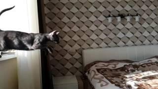 Ориентальная кошка в прыжке