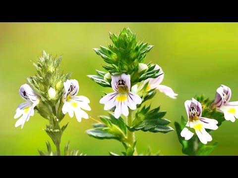 Очанка лекарственная (трава) – полезные свойства и