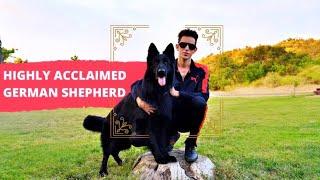 Solid Black German Shepherd Stud