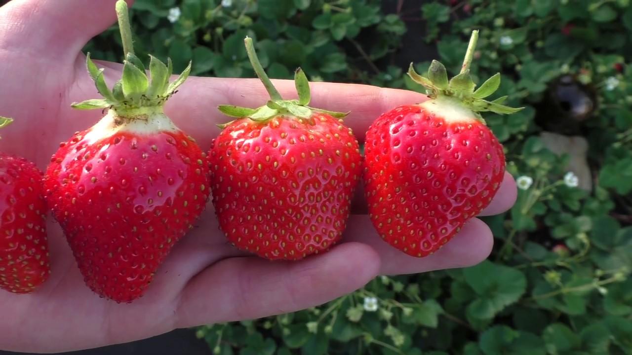 Sunt căpșunile bune pentru pierderea în greutate?