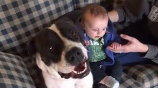 世界一凶暴な犬種ピットブル、赤ちゃんを見守る心優しい一面