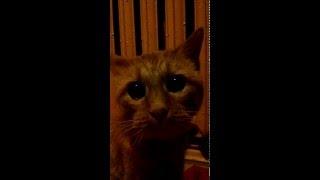 Shrek cat 20 years /20 летний кот из шрека