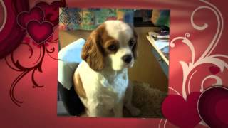 Millie, Our Cute Cavalier King Charles Spaniel, Puppy To Adult Dog