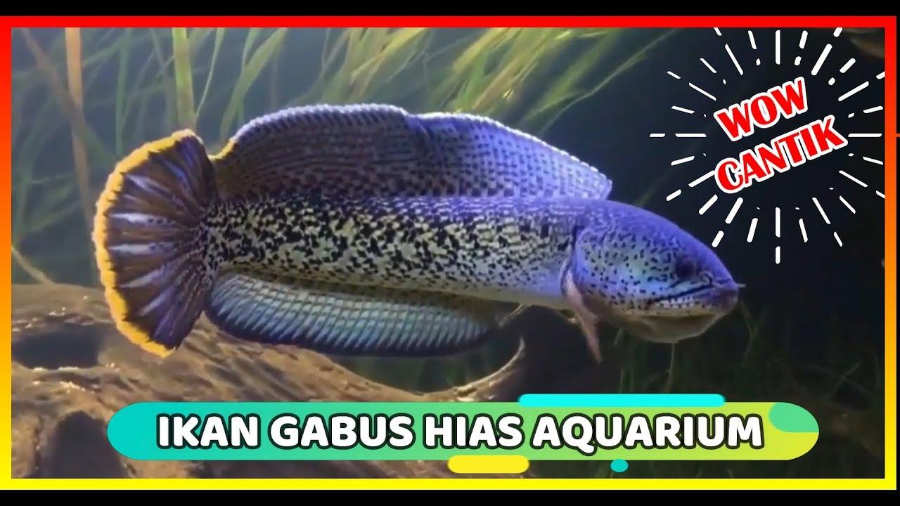 Jenis Ikan Gabus Gambar Ikan 7 Jenis Ikan Gabus Hias Atau Channa Hias Youtube