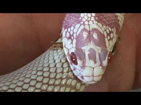 Thumbnail: My Snake Is Eating Itself! Brian Barczyk