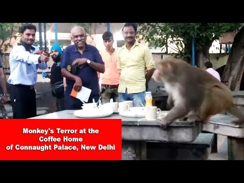 Monkey's Terror at the Coffee Home of Connaught Palace, New Delhi