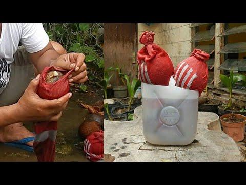 Program Akar Bonsai Kelapa Menggunakan Kaos Kaki Bekas Coconut