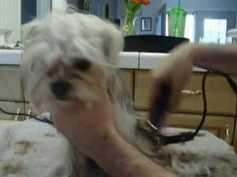 Blue Long Haired Shorkie Gets A Haircut Youtube