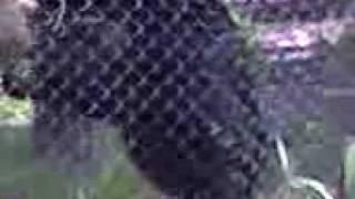 Monkey Sex at Dallas Zoo