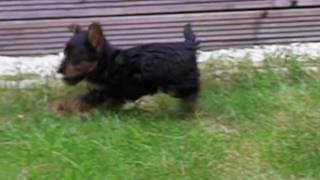 Max - Yorkshire Terrier Pup Slow Mo